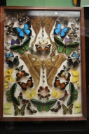 Butterflies Under Glass