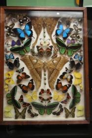 Butterflies Under Glass